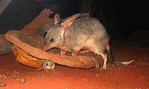 Macrotis - Greater bilby at Sydney Wildlife World
