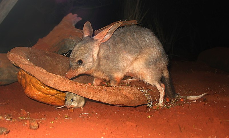 File:Bilby at Sydney Wildlife World.jpg