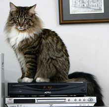 donne maine coon