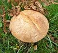 Birch Bolete. Leccinum species (40116915322).jpg