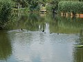 Bird group on Lake Tőzeges, Gyömrő, Pest County, Hungary.jpg