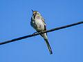 Bird on wire (14398909089).jpg