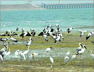 Jayakwadi Dam - Migratory birds at Jayakwadi