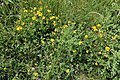 Birdsfoot Trefoil in grassland at Woodland Trust wood Theydon Bois Essex England.JPG