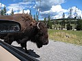 Bison At Yellow Stone National Park.jpg
