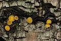 Bisporella sp. - Bisporella citrina? (37513996512).jpg