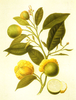 Bizzaria - Citrus aurantium bizzarria. Drawing; A.Poiteau 1811, watercolor; D.Del Pino 1821