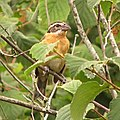 Black-Headed Grosbeak (864815431).jpg