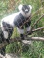 Black-and-white ruffed lemur at Henry Vilas Zoo.jpg