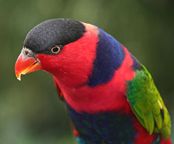 Black-capped lorikeet - Jurong Bird Park, Singapore.jpg