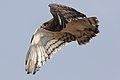 Black-chested snake eagle (Circaetus pectoralis) at Pilanesberg (29993449667).jpg