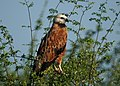 Black-collared Hawk (16486633276).jpg