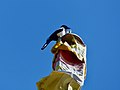 Black-rumped magpie (Pica bottanensis).jpg