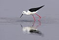 Black-winged Stilt, Common Stilt, or Pied Stilt, Himantopus himantopus at Borakalalo National Park, South Africa (9937653676).jpg