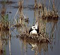 Black-winged Stilt (Himantopus himantopus) nesting ... (35831100200).jpg