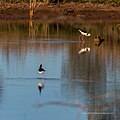 Black-winged stilt pond near Burke River Boulia Queensland P1030823.jpg