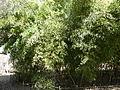 Black Bamboo - Phyllostachys Nigra Var Punctacta - Poaceae - China - Stand.JPG