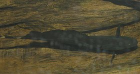 Black Ghost Knife Fish 700.jpg
