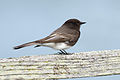 Black Phoebe at Las Gallinas Wildlife Ponds.jpg