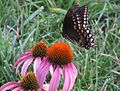 Black Swallowtail Butterfly.jpg
