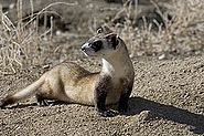 Black footed ferret picture.jpg