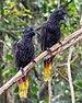 Black lory (Chalcopsitta atra), Gembira Loka Zoo, Yogyakarta 2015-03-15 03.jpg