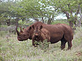 Black rhino with calf (male).jpeg