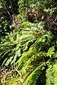 Blechnum novae-zelandiae kz7.jpg