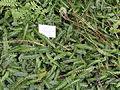 Blechnum penna-marina - Palmengarten Frankfurt - DSC01939.JPG