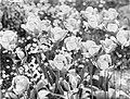 Bloeiende tulpen genaamd Bronze Queen, Bestanddeelnr 190-0766.jpg