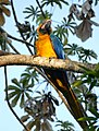 Blue-and-yellow Macaw (Ara ararauna) (27728562953).jpg