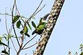 Blue-banded Toucanet (Aulacorhynchus coeruleicinctis).jpg