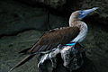 Blue-footed booby (4228326823).jpg