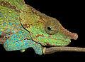 Blue-legged Chameleon (Calumma crypticum), Ranomafana National Park, Madagascar (13968334921).jpg