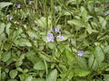 BluePorterweed 06129.jpg