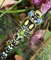 Blue Hawker. Aeshna cyanea - Flickr - gailhampshire (2).jpg