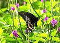 Blue Mormon (Papilio polymnestor).jpg