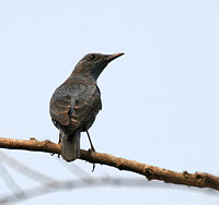 Blue Rock Thrush (Monticola solitarius)- pandoo race- Breeding Male at Jayanti, Duars, West Bengal W IMG 5310.jpg