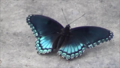 Blue black butterfly.png
