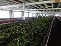 Blue field tea factory 2017-10-24 (1).jpg