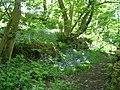 Bluebells in wood near Riding Lane - geograph.org.uk - 1883833.jpg