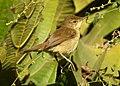 Blyth's Reed Warbler Acrocephalus dumetorum by Dr. Raju Kasambe DSCN6293 (3).jpg