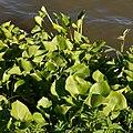 Bog Arum (Calla palustris) - Oslo, Norway 2020-08-04.jpg