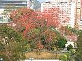 Bombax ceiba at Wan Tau Kok Lane, Tai Po.JPG