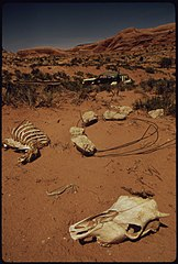 Bony Remains of Dead Cattle Outside the Moab City Dump, 05-1972 (3815038635).jpg