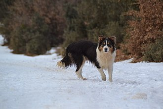 Border Collie - Blue tricolour Border Collie. Young female.