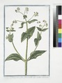 Borrago Constatinopolitana, flore reflexo, cæruleo, calyce vessicario. (Borage) (NYPL b14444147-1125052).tiff