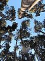 Bosque en cerro frente a laguna chica de san pedro, chile.JPG
