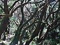 Bosque en el Parque nacional de Garajonay.JPG