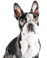 Boston terrier looking upwards.png